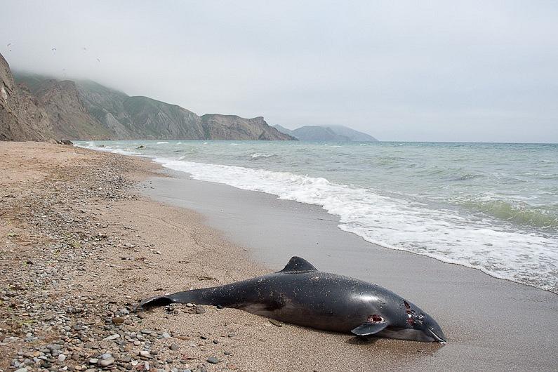 В Україні зріс рівень смертності дельфінів
