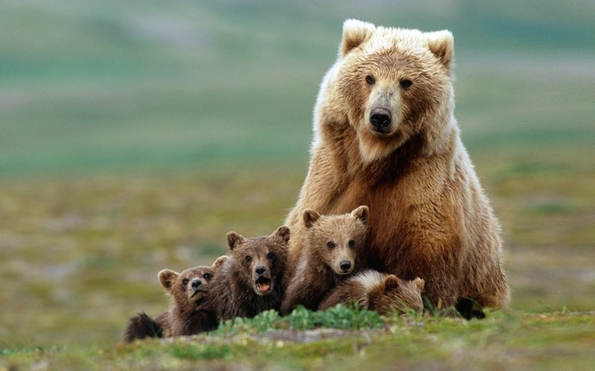 У Галицькому НПП оселяться чотири бурі ведмеді з Херсонщини